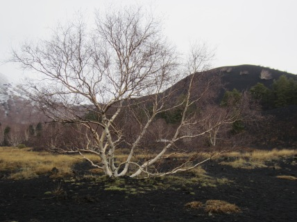 Birch growing from the ash at Mount Etna